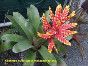 Aechmea_cucullata_Red_x_manzanaresiana2010_11_20__labelled_r