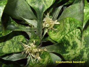 Cryptanthus_beuckeri__waite02__labelled_r