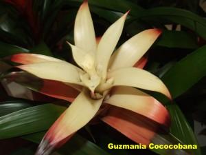 Guzmania_Cococobana2011_04_03__labelled_rr