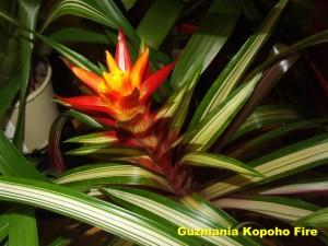 Guzmania_Kopoho_Fire2010_11_13__labelled_rr