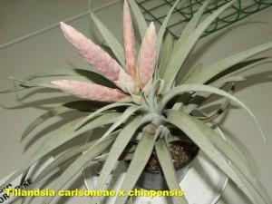 Tillandsia_carlsoneae_x_chiapensis2011_04_03a__labelled_r