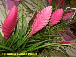 Tillandsia_cyanea_Pinkie2011_04_03a__labelled_r