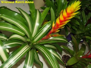 Vriesea_Kerri-Anne2011_04_03b__labelled_r