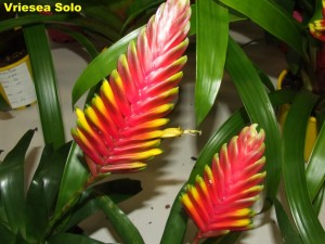 Vriesea_Solo2011_04_03b__labelled_r