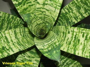 Vriesea_Tiger_Tim2011_04_03b__labelled_r