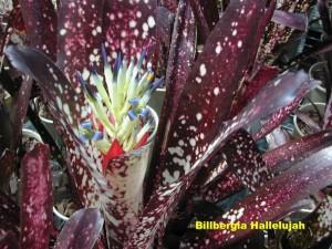 Billbergia_Hallelujah2006_11_25_001__labelled_r