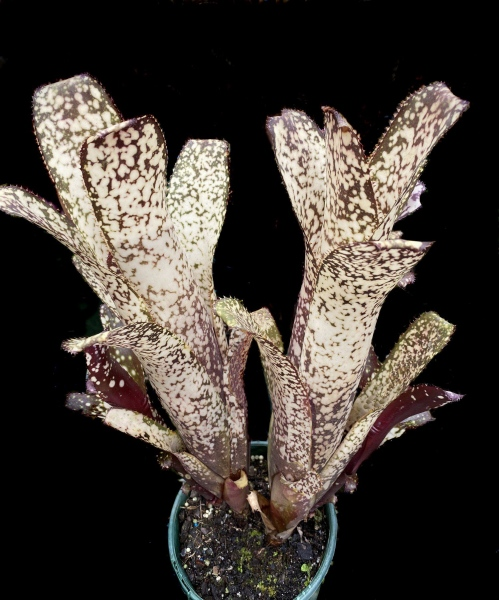 Billbergia-'Kolan-Cosmic-Lights