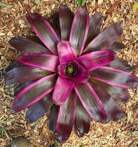 Neoregelia-'Purple-Star