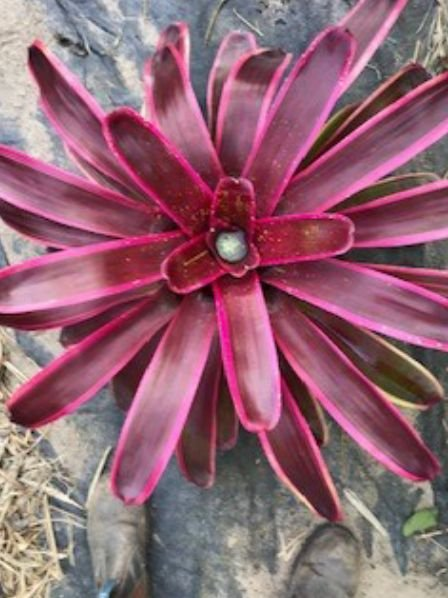 Neoregelia-Enchantment-albo-marginated