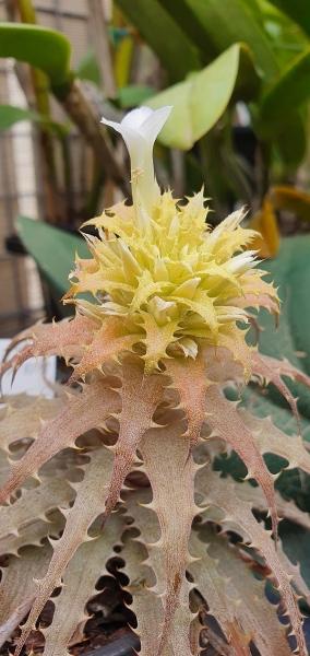 Orthophytum-harleyii