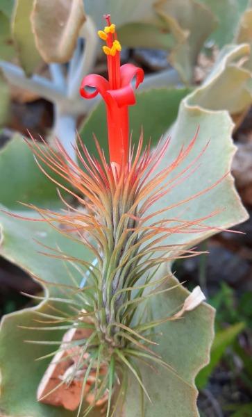 T.-funckiana-green-form