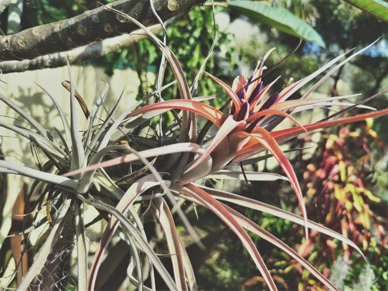 T.-riohondoensis