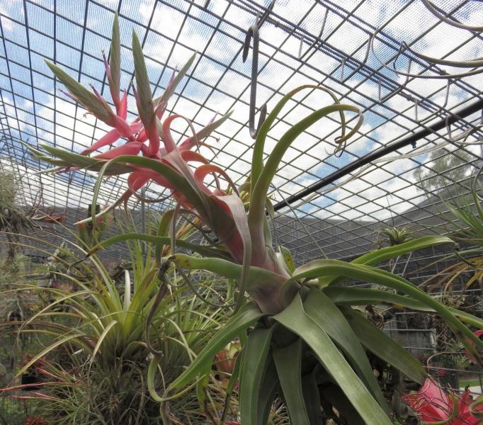Tillandsia-Streptophylla