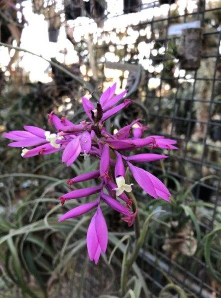 Tillandsia-cacticola-compact