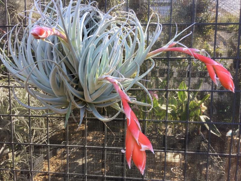Tillandsia-recurvifolia-var.-subsecundifolia